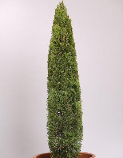 Smaragdtuja - Thuja occidentalis Smaragd 100-130