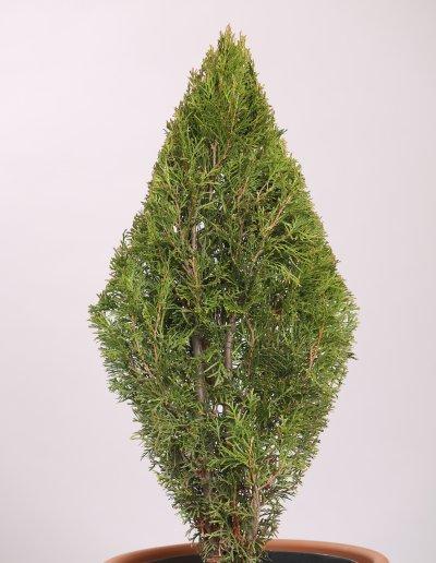 SMARAGDTUJA THUJA OCCIDENTALIS SMARAGD 60-80 cm